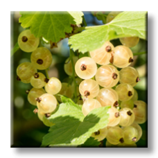 Бяло френско грозде / Ribes rubrum white pearl