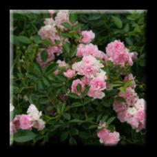 Мини роза - розова / Mini rose The Fairy