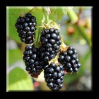 Къпина / Rubus