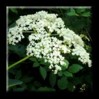 Черен бъз, Свирчовина / Sambucus nigra