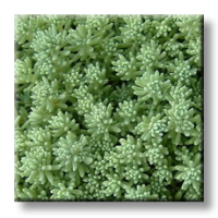 Испански седум / Sedum hispanicum