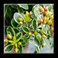 Седум Камчатски пъстролистен / Sedum kamtschaticum variegatum