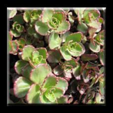 Седум червенолистен / Sedum spurium Red Carpet