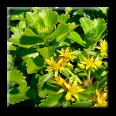 Камчатски седум / Sedum kamtschaticum