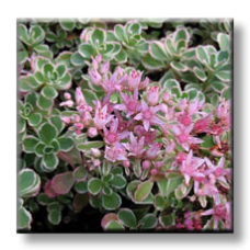 Седум трицветен / Sedum spurium Tricolor