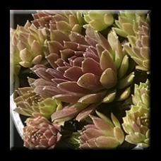 Семпервивум / Sempervivum hybrid