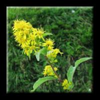Златна пръчица, Горски енчец / Solidago virgaurea L.