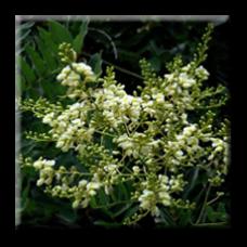 Софора / Sophora japonica