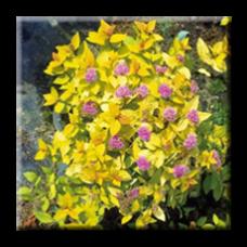 Спирея японика / Spiraea japonica Gold Mound