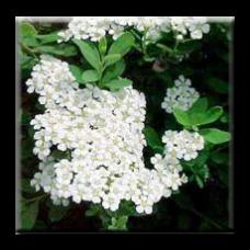 Спирея / Spiraea nipponica Snow mound
