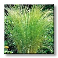 Стипа / Stipa tenuissima
