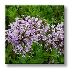 Персийски люляк / Syringa persica Laciniata