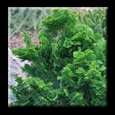 Западна туя Кристата  / Thuja occidentalis Cristata
