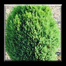 Източна туя Мелденсис / Thuja orientalis 'Meldensis'