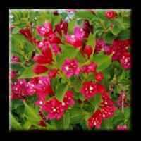 Вайгела - червена / Weigela Florida Red Prince
