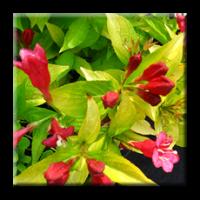 Вайгела жълтолистна / Weigela florida Aurea