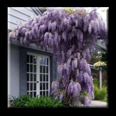 Японска вистерия / Wisteria floribunda