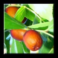 Хинап / Zizyphus vulgaris
