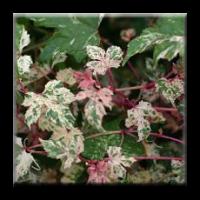 Китайска лоза / Ampelopsis glandulosa 'Elegans'