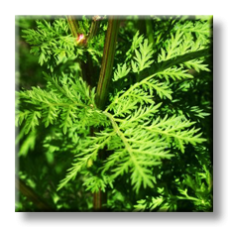 Сладък пелин / Artemisia annua