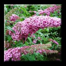 Будлея розова, Летен люляк / Buddleia Davidii Pink Delight