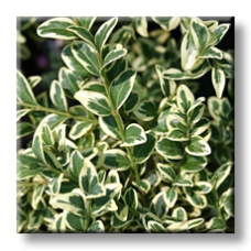 Чемшир пъстролистен / Buxus sempervirens aureovariegata
