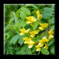 Жълта акация / Caragana Arborescens