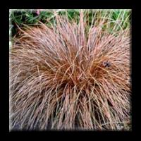 Бронзов карекс Червен петел / Carex buchananii Red Rooster