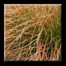 Огнeн кapeкc / Carex testacea Prairie Fire