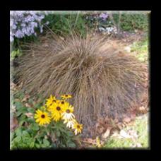 Бронзов карекс, Острица / Carex comans bronze form