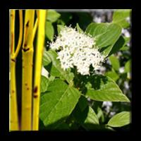 Дрян бял Жълтостъблен / Cornus stolonifera Flaviramea