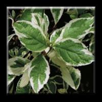Сибирски дрян - пъстролистен / Cornus alba sibirica variegata