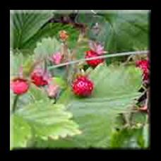 Декоративна ягода / Duchesnea indica