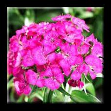 Самакитка / Dianthus barbatus