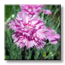 Карамфил / Dianthus plumarius