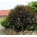 Физокарпус червенолистен / Physocarpus opulifolius diablo