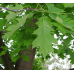 Червен американски дъб / Quercus rubra