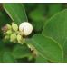 Симфорикарпус, Бял маргарит / Symphoricarpos albus