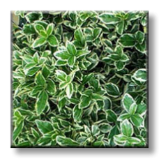"""Радиканс бяло-зелен / Euonymus fortunei """"EMERALD GAIETY"""""""