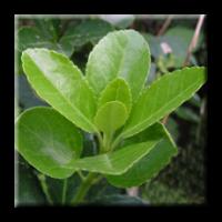 Японски чашкодрян / Euonymus japonicus