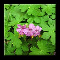 Здравец / Geranium macrorrhizum