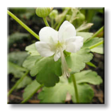 Бял здравец / Geranium macrorrhizum White