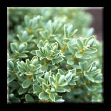 Хебе дебелолистно / Hebe pinguifolia, Hebe topiaria