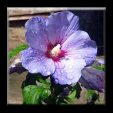 Хибискус градински - син, дървовидна ружа / Hibiscus