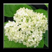 Хортензия - бяла / Hydrangea