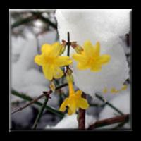 Зимен жасмин / Jasminum nudiflorum