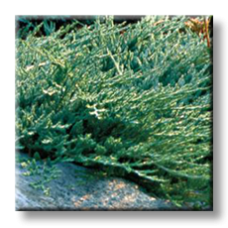 Юниперус / Juniperus horizontalis Wiltonii
