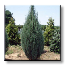 Juniperus scopulorum Skyrocket