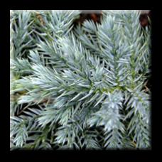 Юниперус / Juniperus squamata Blue Carpet
