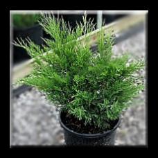 Сабина Зелена / Juniperus Sabina